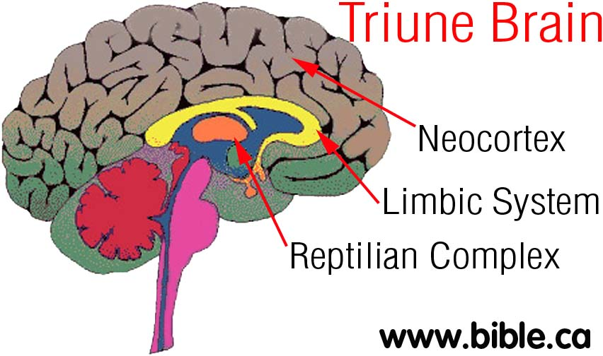 The Triune Brain Of Psychiatry Evolution And Humanism